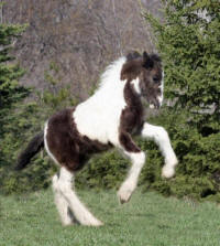 Lake Ridge Dash, 2008 Gypsy Vanner Horse colt