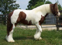 Hollywood, imported Gypsy Vanner Horse gelding