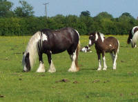The Honey Mare, Gypsy Vanner Horse in England
