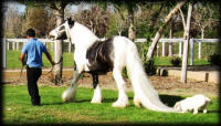 Huston, 2003 imported Gypsy Vanner Horse stallion