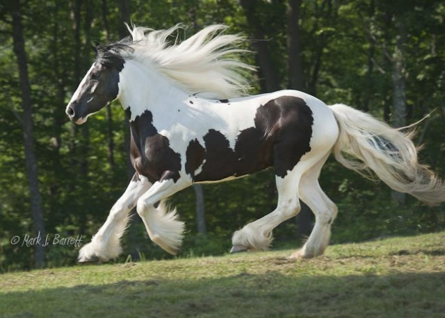 Summer's Little She Bear, 2007 Gypsy Vanner Horse mare