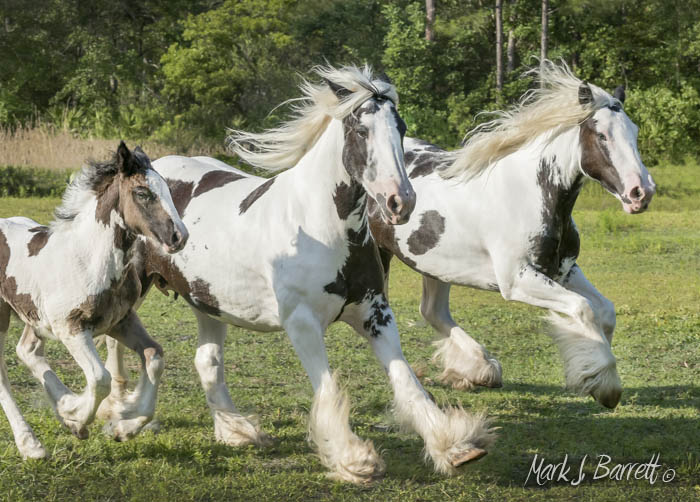 Gypsy Vanner Horse mares at Magic In Motion Vanners