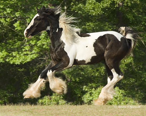 WCF King of Hearts, 2006 Gypsy Vanner Horse colt