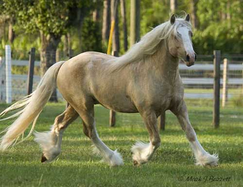 Golden Chancelot, 2004 imported Gypsy Vanner Horse stallion