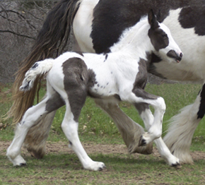 Feathered Gold Aine, 2008 Gypsy Vanner Horse filly