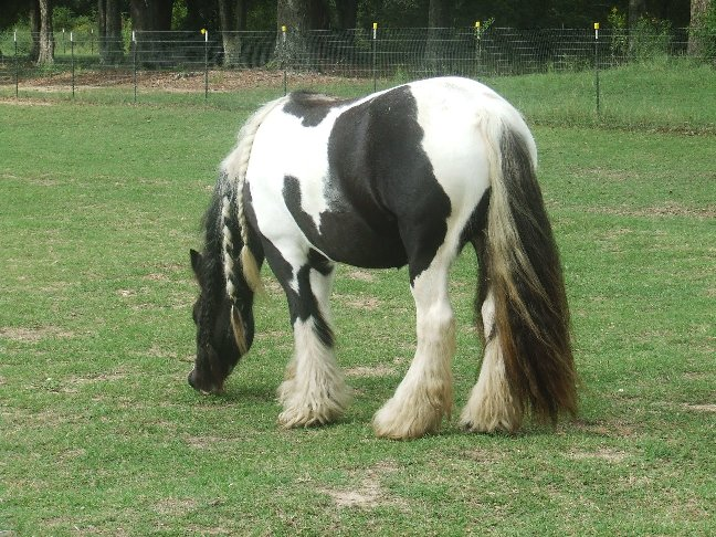 Ambrosia, 2002 imported Gypsy Vanner Horse mare