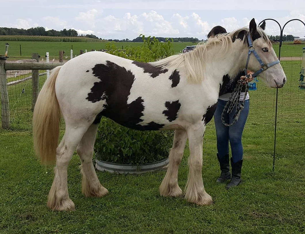 WW Anno Lucis, 2015 Gypsy Vanner Horse filly