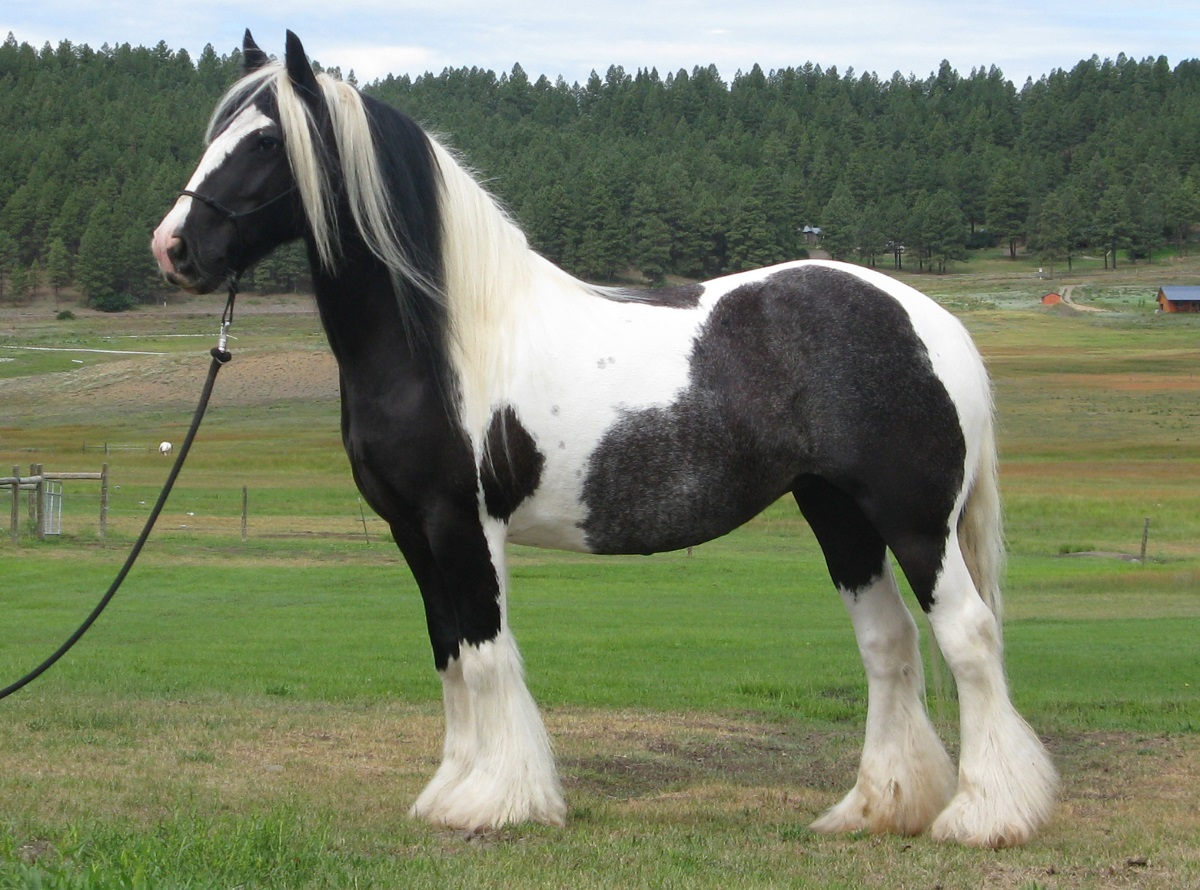 The Anchor Mare, 2002 imported Gypsy Vanner Horse mare