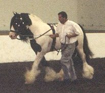 Gypsy King in the indoor arena of the Kentucky Horse Park