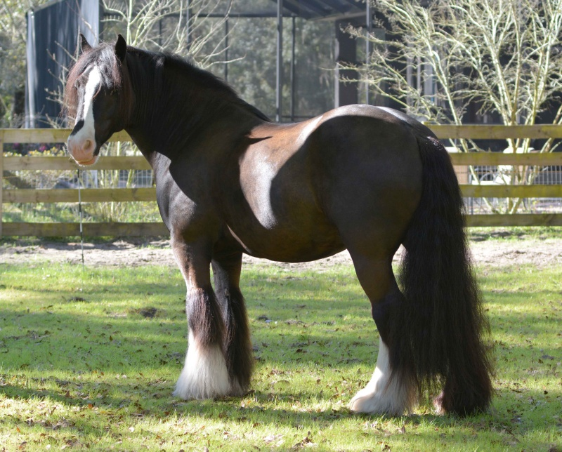 GG The Bachelor, 2008 Gypsy Vanner Horse gelding