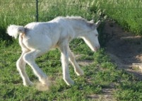 Rollin Thunder Bailey, 2007 Gypsy Vanner Horse filly