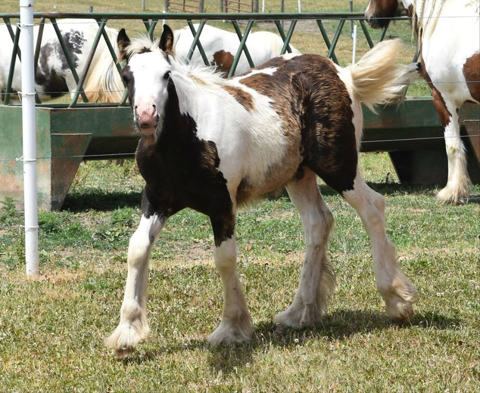 WW The Night Watchman, 2016 Gypsy Vanner Horse colt
