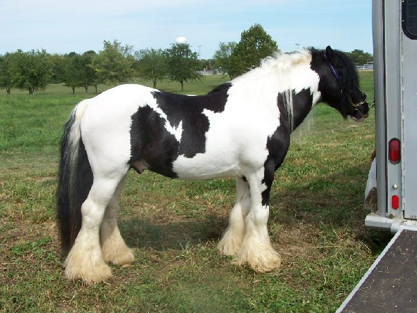 Bee Gee, Gypsy Vanner Horse stallion