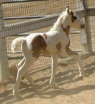Cici's Belle de Jour, 2009 Gypsy Vanner Horse filly