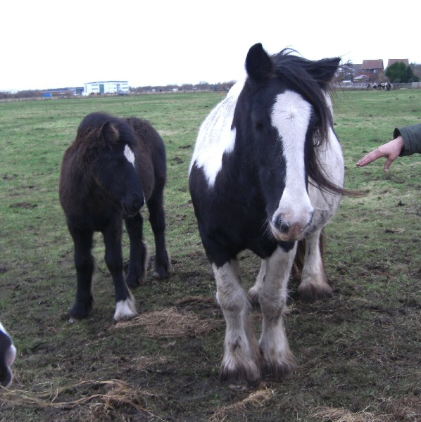 Belle, Gypsy Vanner Horse mare in the UK