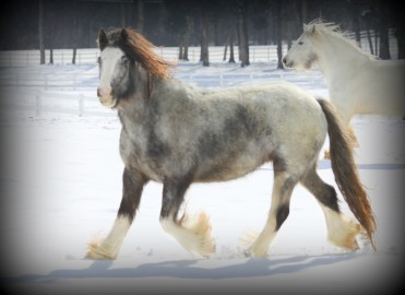 Blue Bell, 2006 imported Gypsy Vanner Horse mare