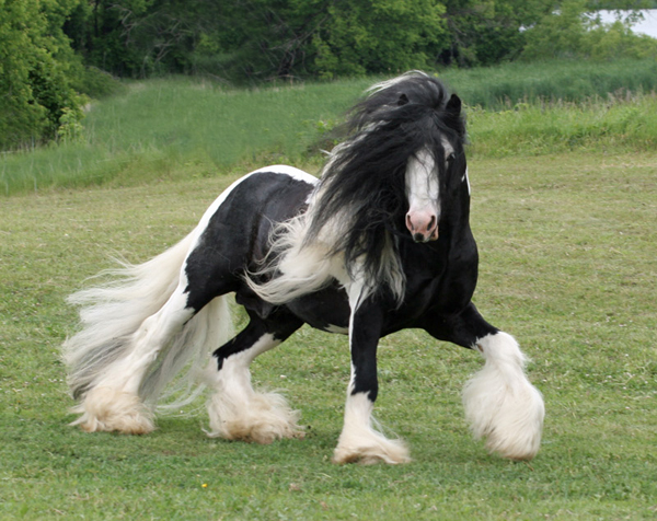 British Sterling, imported Gypsy Vanner Horse stallion