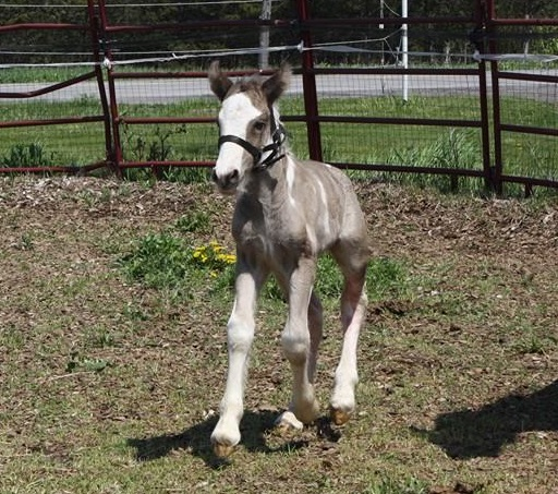 Cailin Filly, 2016 Gypsy Vanner Horse foal