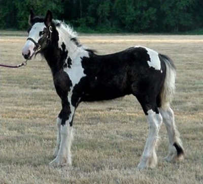 Sterling Spring Call Me Sir, 2004 Gypsy Vanner Horse stallion