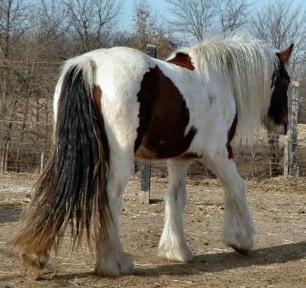 Chantilly Lily, 2006 Gypsy Vanner Horse mare