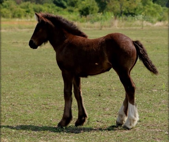 SFG Charming Charlie, 2014 Gypsy Vanner Horse filly