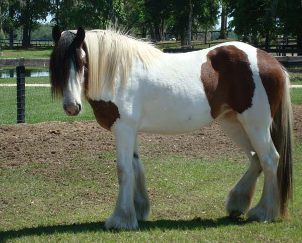 GG Cover Girl, 2007 Gypsy Vanner Horse filly