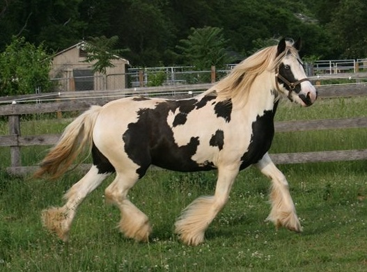 Crickette's Meadow Dance, 2010 Gypsy Vanner Horse mare