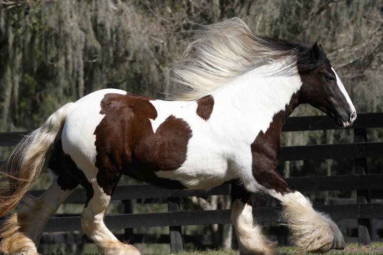 Crown Darby, 1995 Gypsy Vanner Horse mare