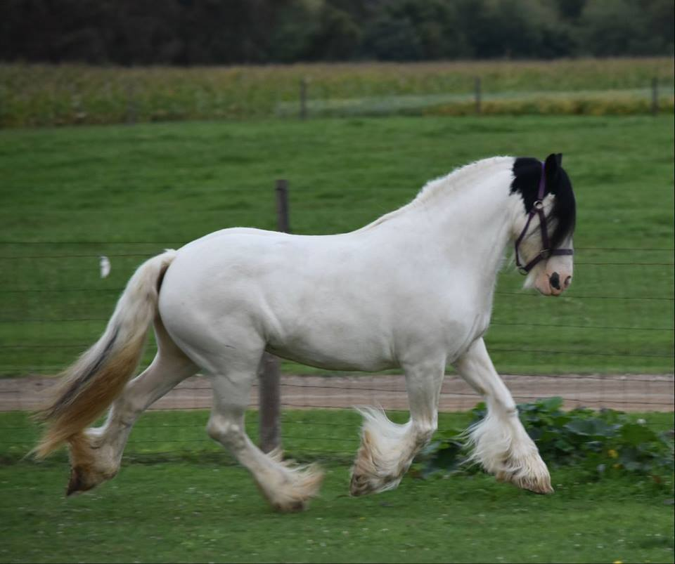 Crystal, 2004 imported Gypsy Vanner Horse mare