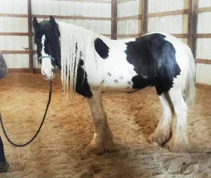 Feathered Gold Donovan, 2008 Gypsy Vanner Horse stallion