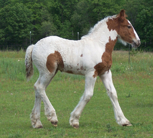 Feathered Gold Majestic Dream, 2009 Gypsy Vanner Horse filly