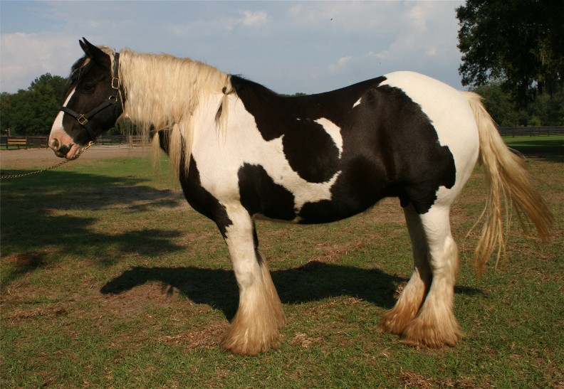 Dutchess, 1993 imported Gypsy Vanner Horse mare