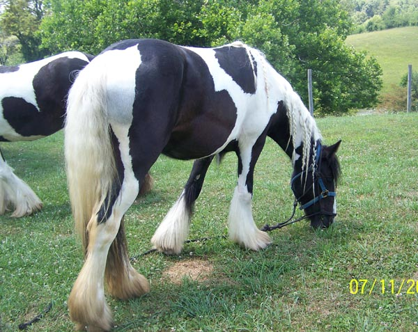 Painted Hills Dyna, 2008 Gypsy Vanner Horse mare