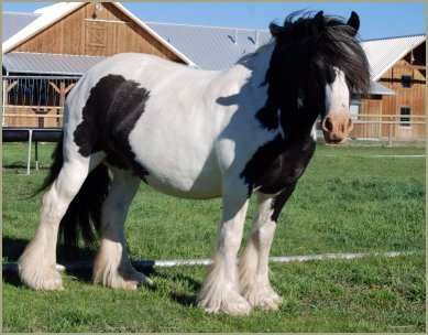 Elite Daphne, imported Gypsy Vanner Horse mar