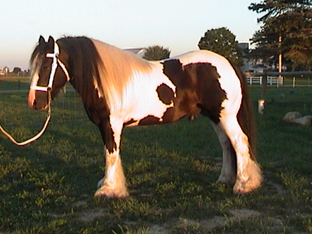 Feather Hill Pippin, imported in-utero Gypsy Vanner Horse stallion