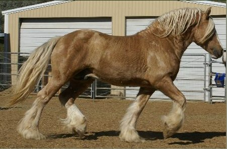 Flash of Gold, 1999 imported Gypsy Vanner Horse stallion