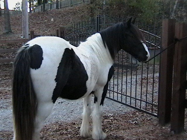 GB Latcho's Fonso, 2008 Gypsy Vanner Horse colt