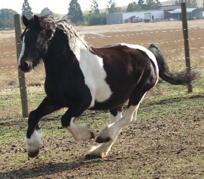 Gemma, imported Gypsy Vanner Horse mare