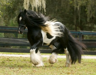 Latcho Drom, imported Gypsy Vanner Horse stallion