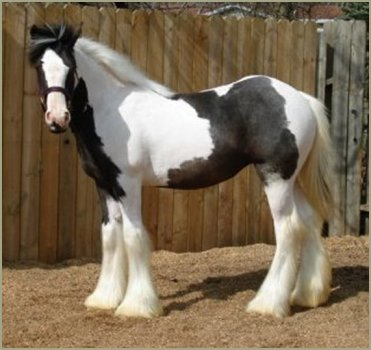 N'Co The Headline News, 2006 Gypsy Vanner Horse filly