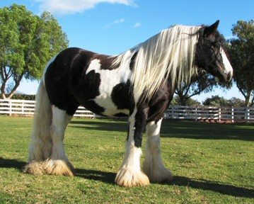 Huston, 2003 Gypsy Vanner Horse stallion