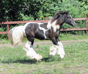 Feathered Gold Impeccable Impression, 2012 Gypsy Vanner Horse colt