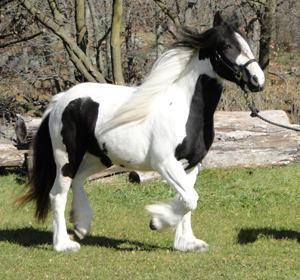 Her Majesty's Gypsy Princess, 2008 Gypsy Vanner Horse mare