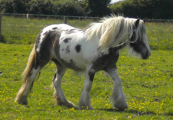 Jagged Dollar, 2007 imported Gypsy Vanner Horse mare