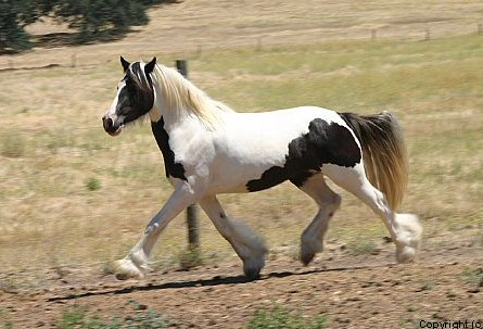 Rock Ranch Kinnitty, 2002 imported Gypsy Vanner Horse mare