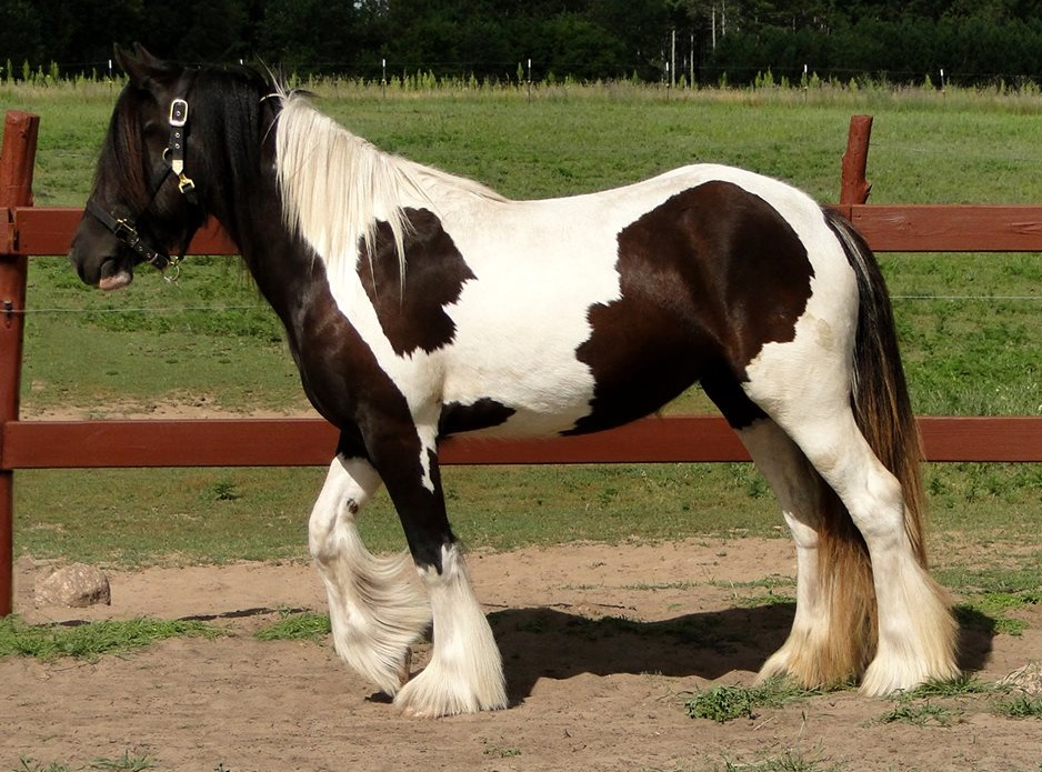 Feathered Gold Lady Romance, 2011 Gypsy Vanner Horse mare