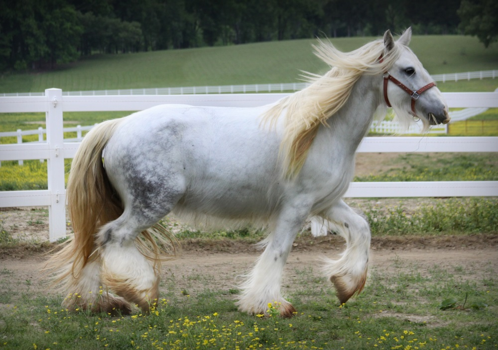 Fantasia of Lexlin, 2002 imported Gypsy Vanner Horse mare