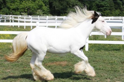 Lexlin's Liberty, 2009 Gypsy Vanner Horse filly
