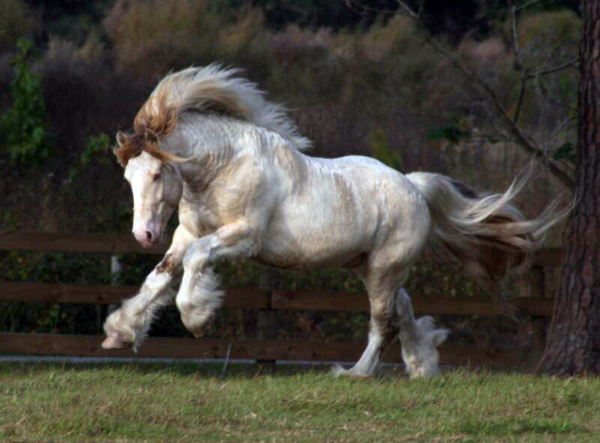 Love Biscuit, imported Gypsy Vanner Horse stallion