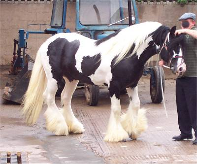 Luck To The Future, Gypsy Vanner Horse stallion in the UK